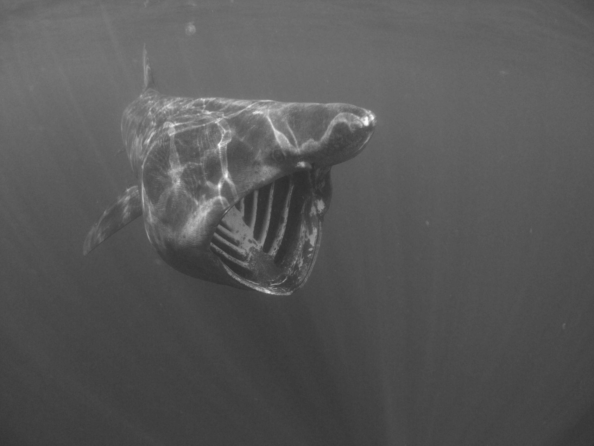 Basking Sharks Lizard Cornwall
